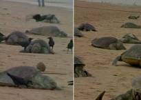 Hundreds of Olive Ridley turtles, dolphin found dead near Puri beach