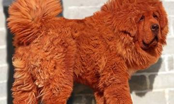 World's most expensive dog sold for a whopping sum of £1 million