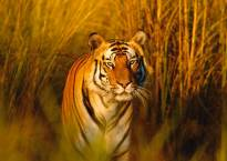 World tiger population records an unprecedented rise in 100 years