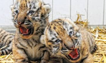 India home to 2500 endangered big cats, represents 70 per cent of global Tiger population
