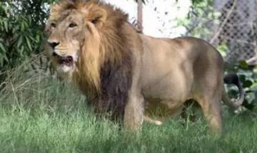 Lucky escape: Man jumps into lion enclosure at zoo, rescued unhurt