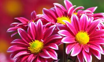 Global climate change has negative effect, flowers losing their diverse fragrances