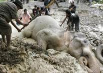 Indian elephant 'Bangabahadur', swept away by flood, dies in Bangladesh