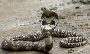 WB: Cobra venom worth Rs 200 crore seized in Siliguri