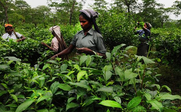 Labourers pluck leaves at a tea garden in Jalpaiguri. (Getty Images)