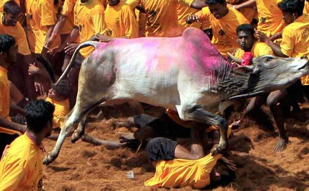 Bull-taming sport Jallikattu (Pic: PTI)