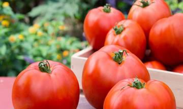 Scientists unlock genes to enhance taste of tomatoes