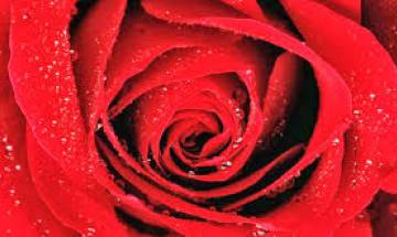 Valentines Day Week 2017 Special: Know importance and meaning of Rose Day
