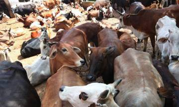 Thane: Two held from power loom town of Bhiwandi for transporting beef illegally in Mumbai