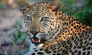 Leopard sneaks into Nepal's International airport, flight operations disrupted