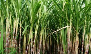 Sugarcane may produce oil for biodiesel production