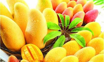 Perfect two-in-one delight for mango lovers, hybrid of Dussehri and Chausa to hit the market soon