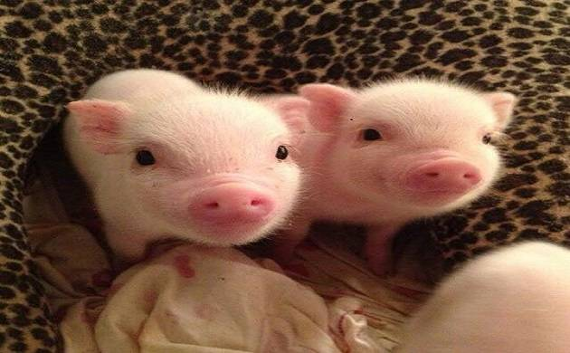 CRISPR technology brings pig-to-human transplants step closer to reality. (File Photo)