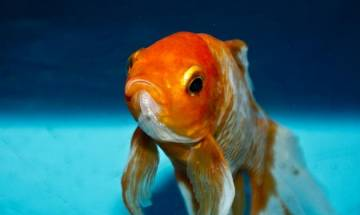 Goldfish produce alcohol to survive without oxygen, discover scientists