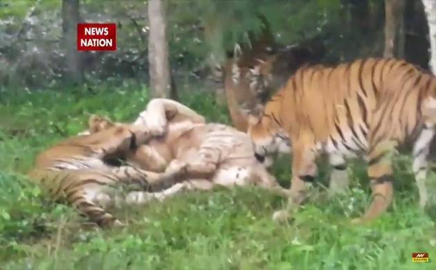 Bengaluru: White Tiger dies after being attacked by Bengal Tigers (File Photo)