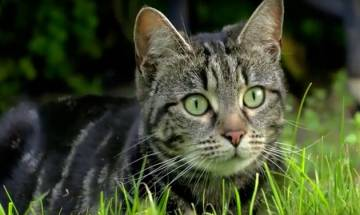 In Australia, cats kill over 10 lakh birds in a single day