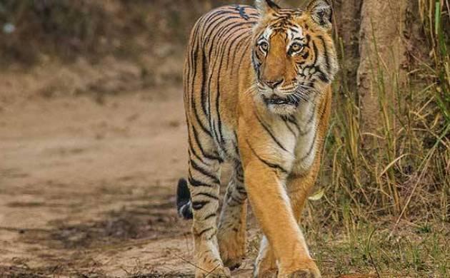 Madhya Pradesh: Tiger mauls 10-year-old girl in buffering zone of Ratapani Sanctuary. (Representative Image)