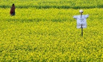 Genetically Modified crops: GEAC has kept decision pending on GM mustard's commercial release