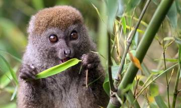 Climate change may lead bamboo lemurs towards annihilation, says study