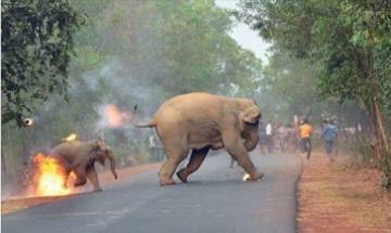 End of Humanity? Picture of Elephant and her calf on fire in West Bengal bags Photography Award by Sanctuary Asia