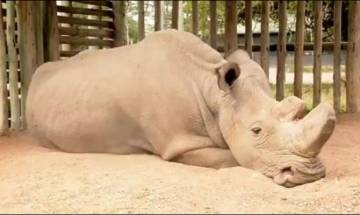 Photo of Sudan, last living male northern white Rhino shows what extinction looks like