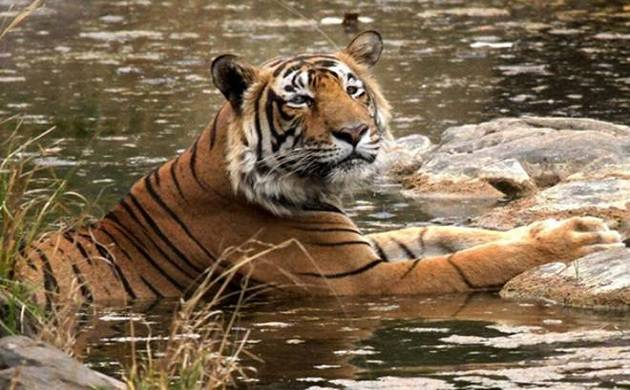 Tiger Census expected to be taken up in Telangana in January 2018 (Photo Courtesy: PTI)