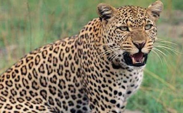 Leopard mauls 3 kids to death in MP, eats one of them(Image Courtesy: IANS)