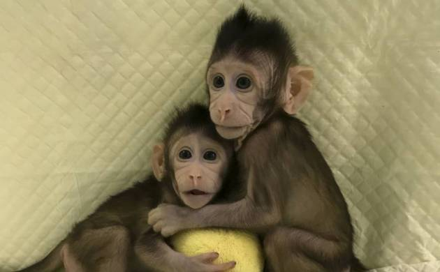 Monkeys Zhong Zhong and Hua Hua were cloned using the method that produced Dolly the sheep
