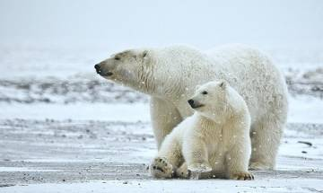 Polar bears are fighting for existence; Shrinking ice in Arctic ocean may cause annihilation of white giants