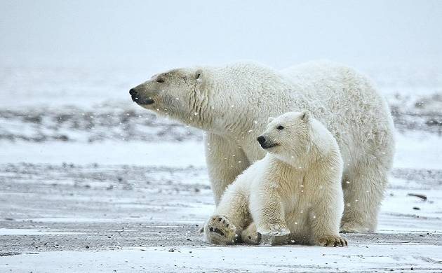 Polar bears are fighting for existence; Shrinking ice in Arctic ocean may cause annihilation of white giants (Representative Image)