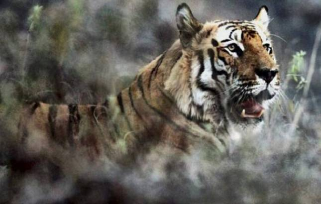 West Bengal: Forest department confirms presence of adult tiger in Lalgarh (Representative image, Source- PTI)