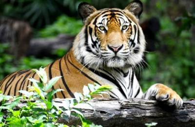 Two tigers killed in separate incidents in Rajasthan in two days, said officials
