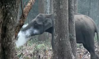 Wild elephant caught 'smoking' in Nagarhole National Park: Watch Video
