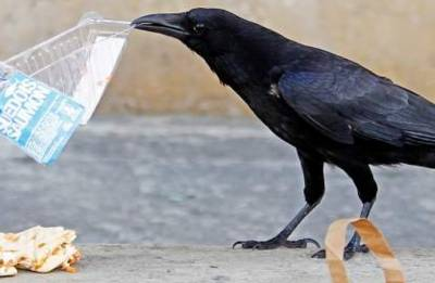 Crows are as smart as 7-year-old humans; 10 facts about the most intelligent bird