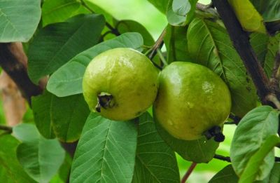 Why guava leaves are beneficial for health