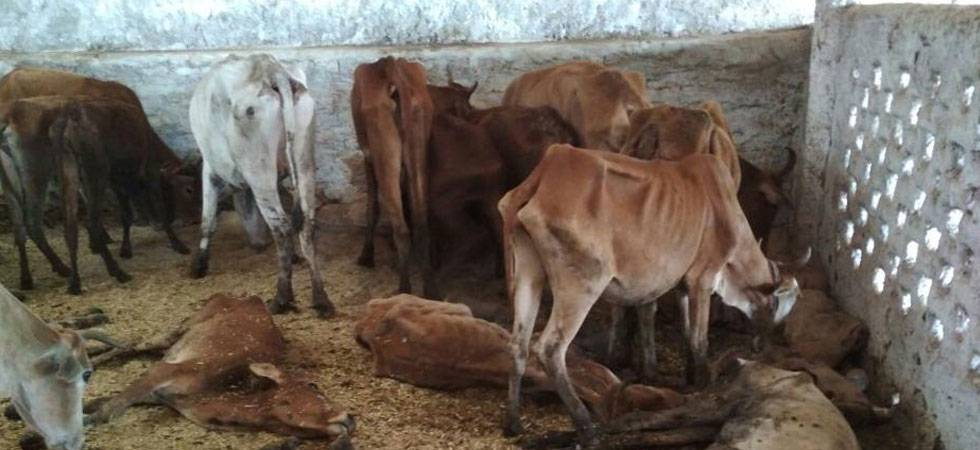 Delhi: 36 cows found mysteriously dead at Dwarka cowshed