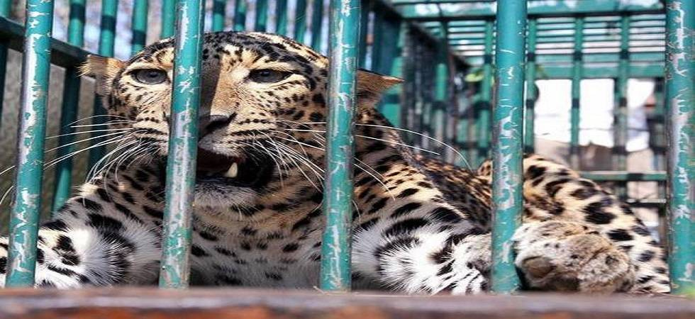 Karnataka: Leopard trapped in Udupi district (File Photo- PTI)