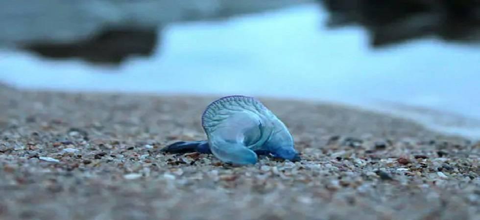 Blue bottle jellyfish injures over 150 in Mumbai beaches (Photo: Twitter)