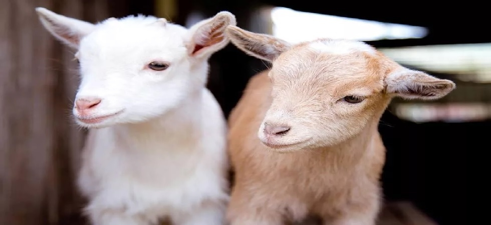 Goats love happy people, can read your expressions: Study