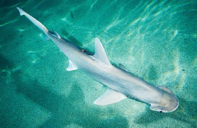 First ever vegetarian shark species identified say scientists