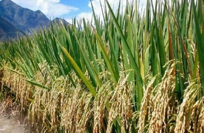 Rice farming twice as bad for climate as thought: Study