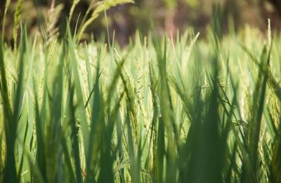 Nuakhai 2018: The rice tale behind the harvest festival in Odisha