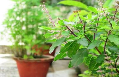 Tulsi Plant: Five amazing benefits of this queen of herbs