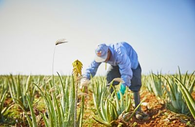 Should Aloe Vera be used as a skin care routine?