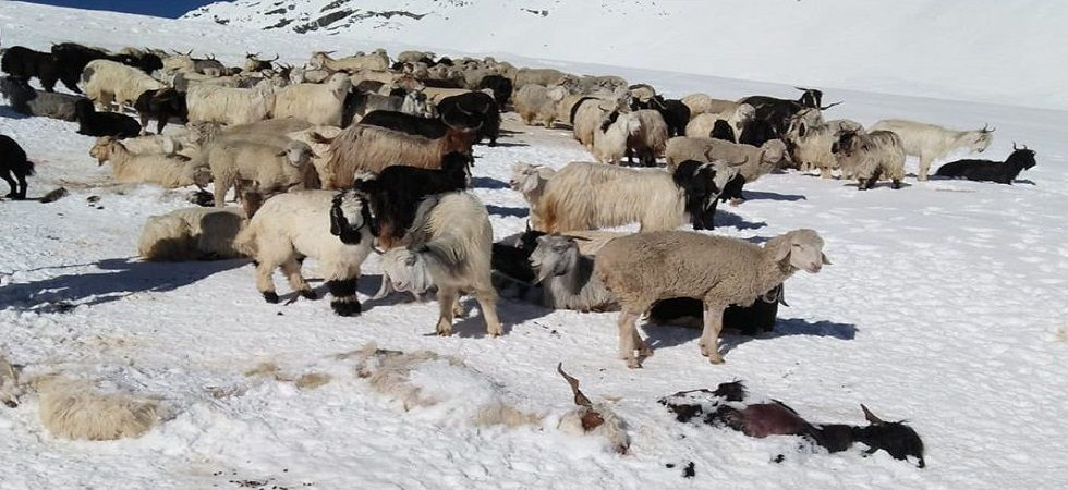 Himachal Pradesh: Shepherd dead, another 50 feared stranded due to snow in Kangra (Photo- Twitter/ANI)
