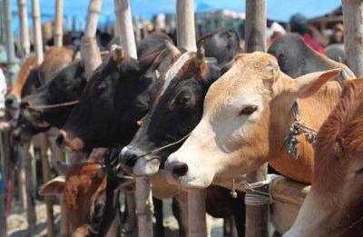 Uttar Pradesh: 30 arrested for 'smuggling' buffaloes in Varanasi