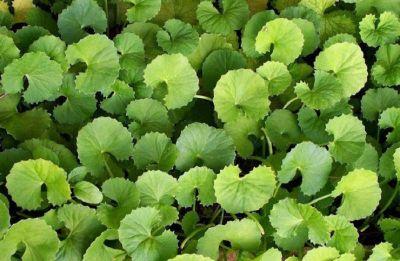 Pennywort: Ancient medicinal use of Mandukaparni and its health benefits