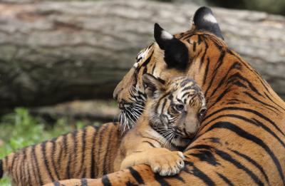 Forest department didn't want to kill tigress Avni, says Maharashtra Minister Sudhir Mungantiwar