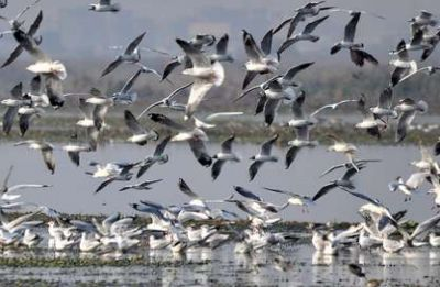 A walk with the vultures and lapwings by the river Yamuna
