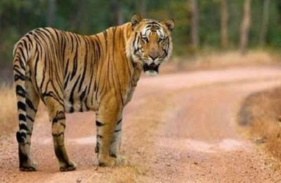 Maharashtra tigress Avni had not eaten for 4-5 days: Necropsy report